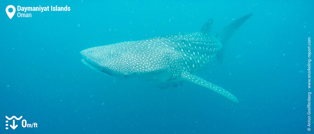 Swimming with whale shark in the Daymaniyat Islands