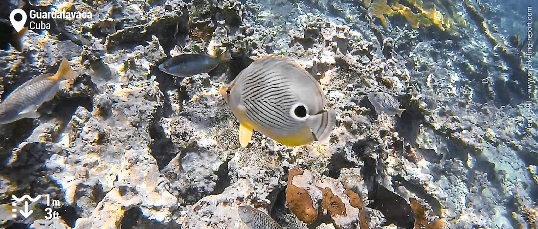 Foureye butterflyfish in Guardalavaca