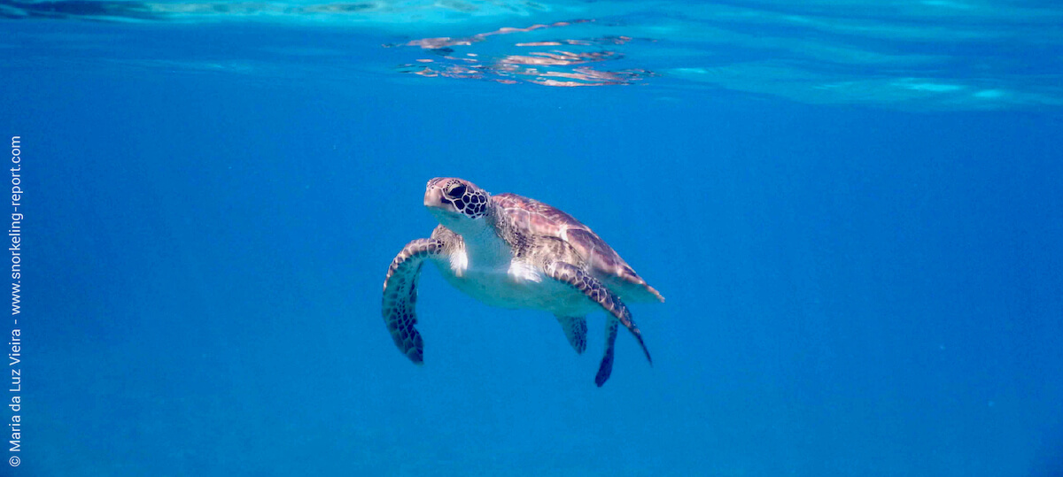 Green sea turtle in Fiji