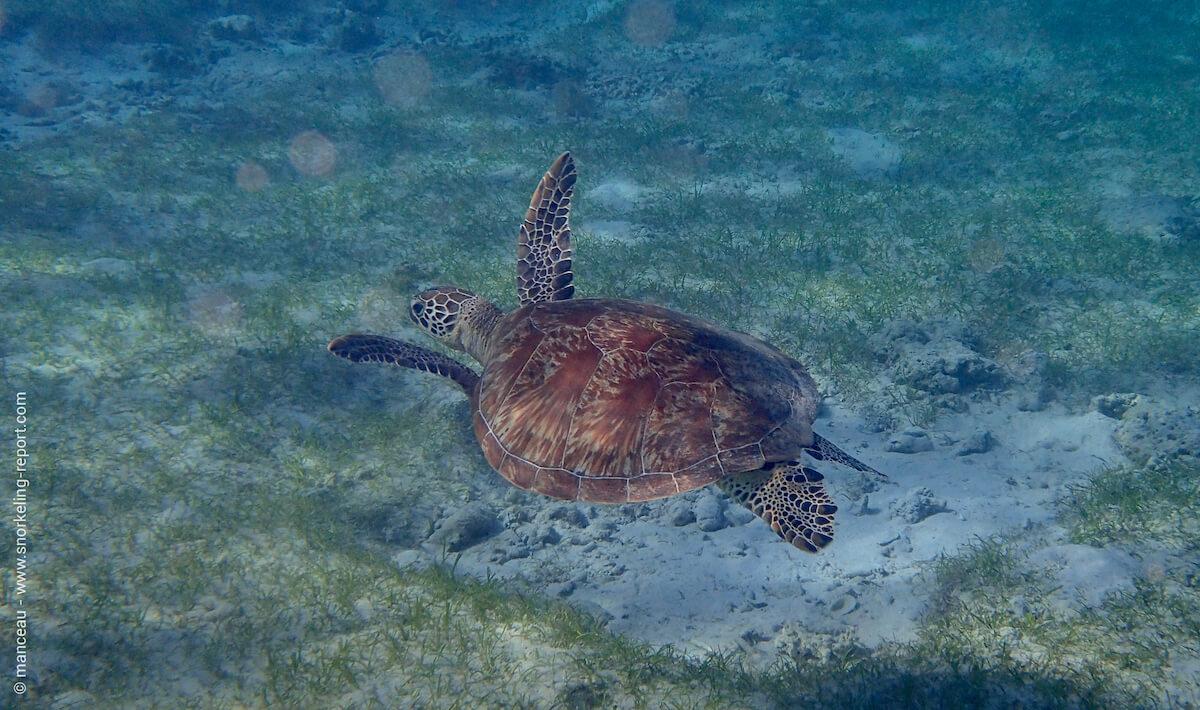 Green sea turtle in Palawan