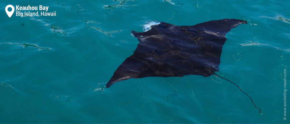 Manta ray at the surface of the sea in Keauhou Bay
