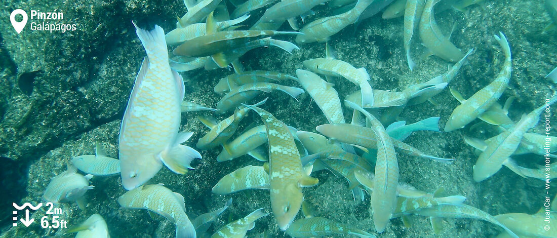 School of parrotfish in Pinzon Island