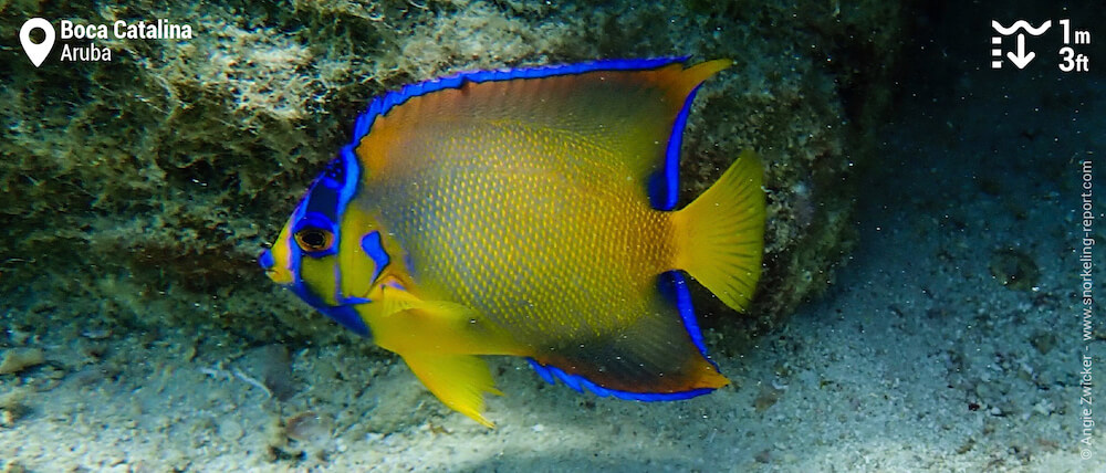 Juvenile queen angelfish at Boca Catalina