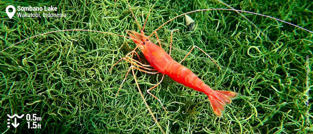 Red shrimp in Sombano Lake