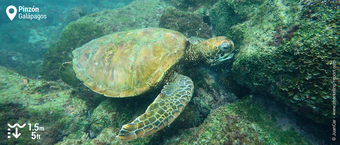 Snorkeling with Galapagos sea turtles in Pizon Island