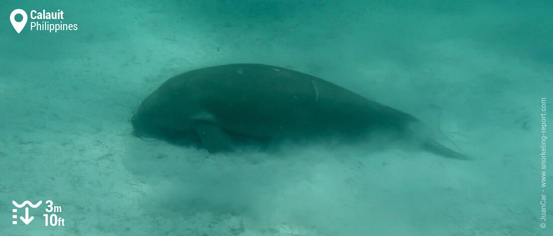 Dugong sur les herbiers de Calauit