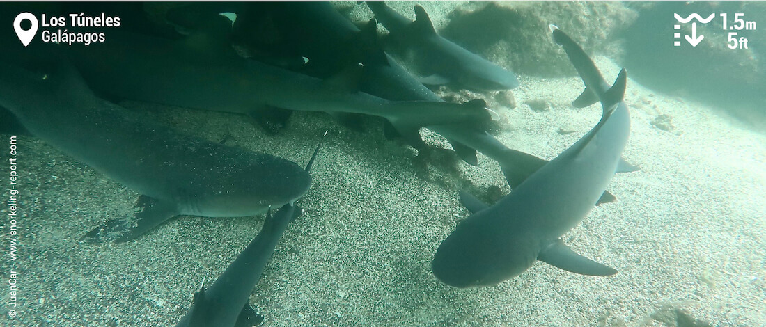 Snorkeling with blacktip sharks in Los Tuneles, Galapagos