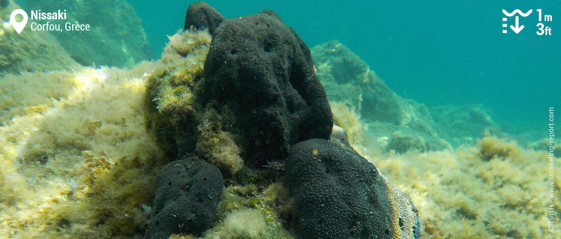 Eponges noires
