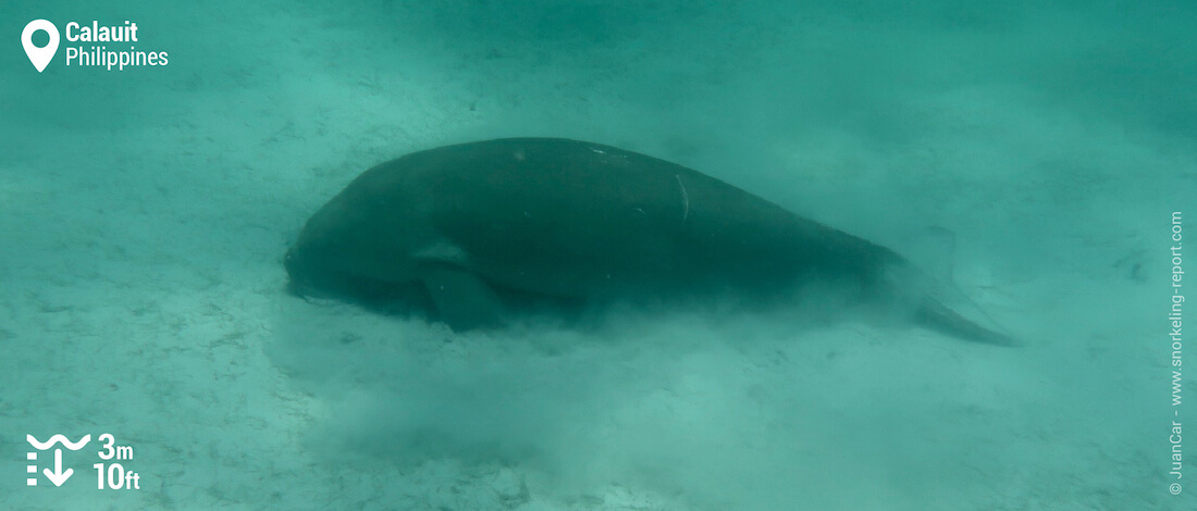 Dugong in Calauit's seagrass beds