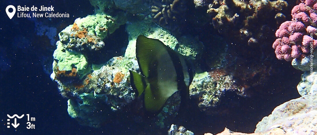 Batfish at Jinek Bay