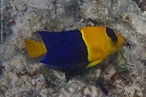 Centropyge bicolor