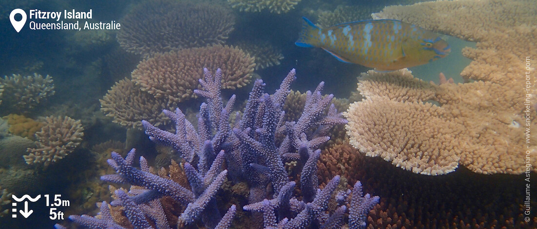 Coraux et poisson-perroquet à Nudey Beach