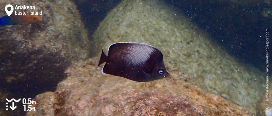 Easter Island butterflyfish at Anakena Beach