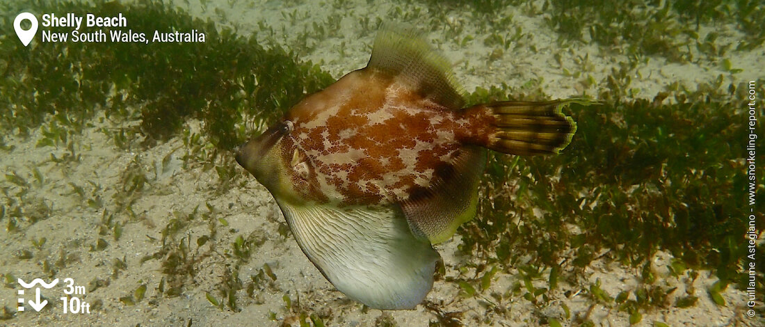 Fan-bellied leatherjacket at Shelly Beach