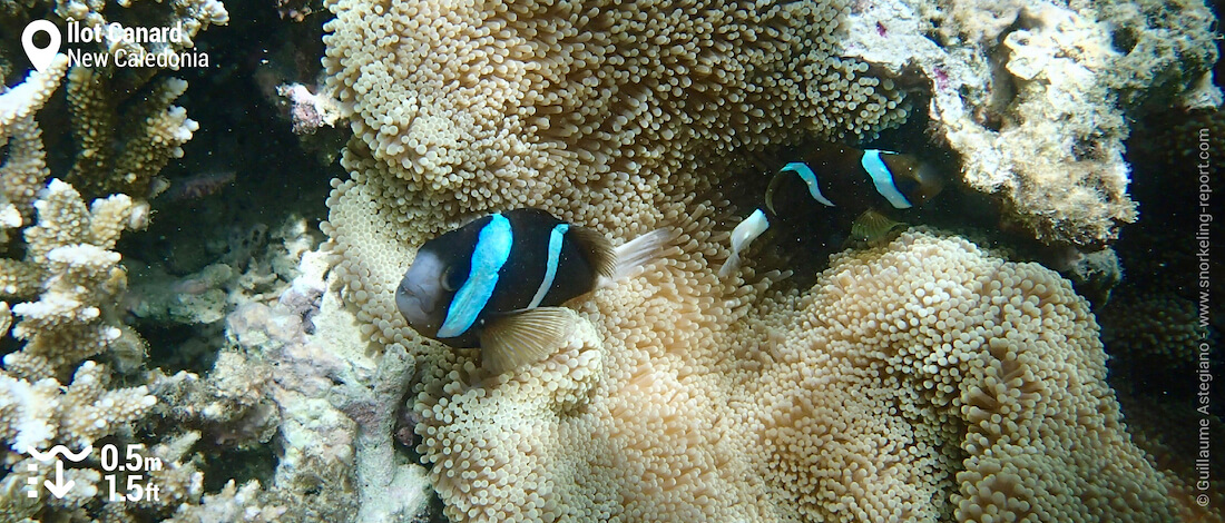 Great Barrier anemonefish at Duck Island