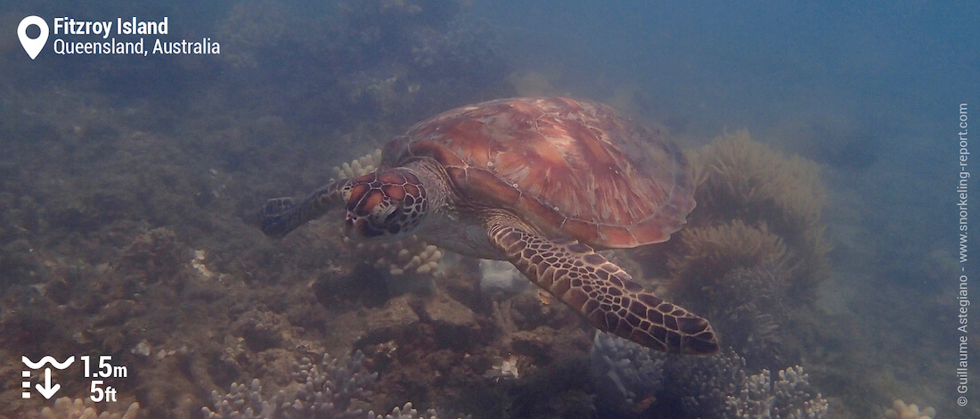 Green sea turtle at Fitzroy Island