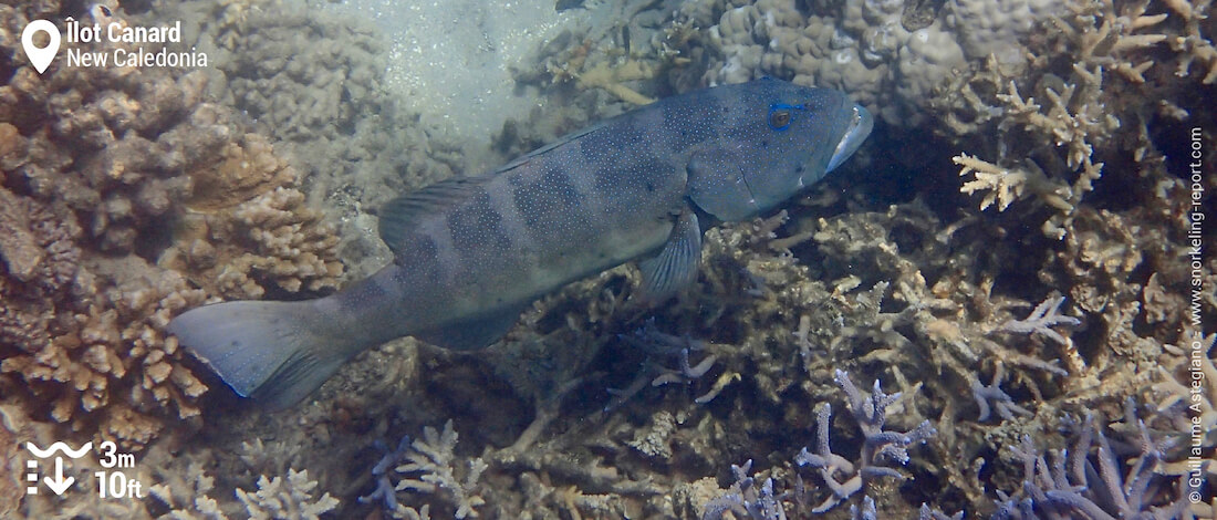 Grouper at Duck Island