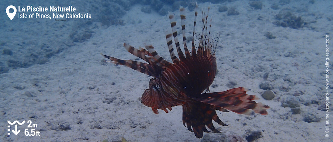 Lionfish in Isle of Pines Natural Pool