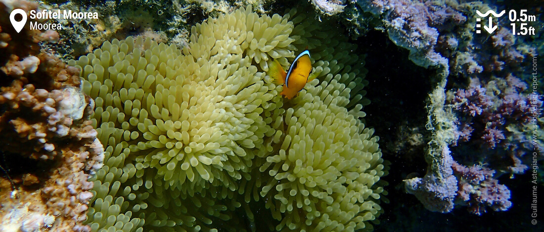 Orangefin anemonefish in sea anemone at Sofitel Moorea