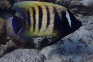 Pomacanthus sexstriatus