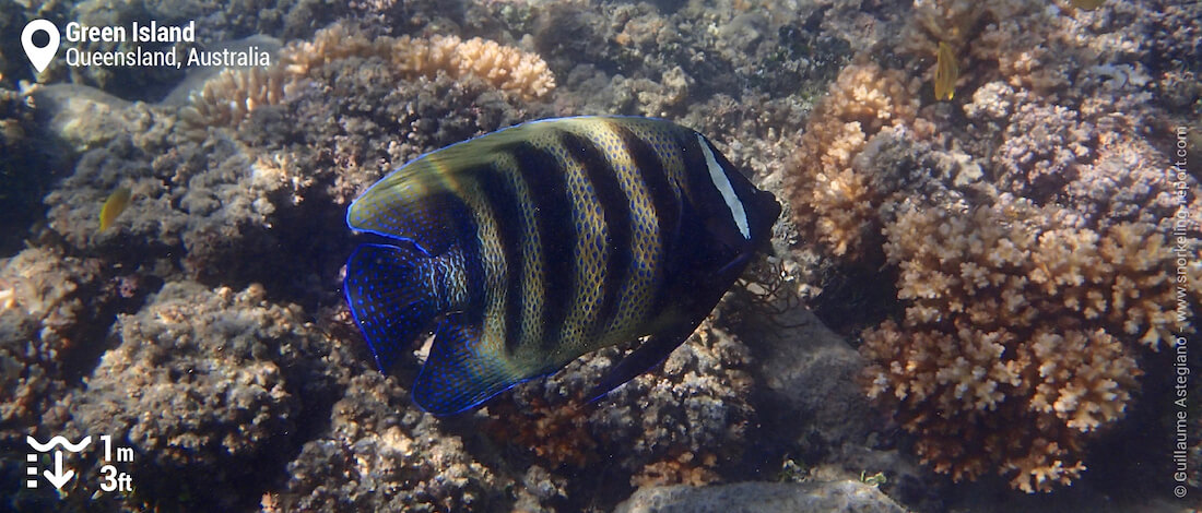 Sixbar angelfish in Green Island