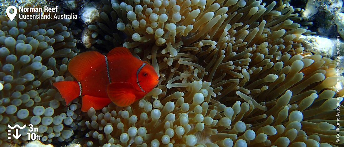 Spinecheek anemonefish at Norman Reef