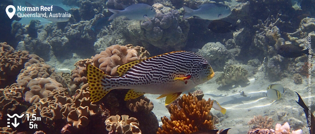 Yellowbanded sweetlips at Norman Reef