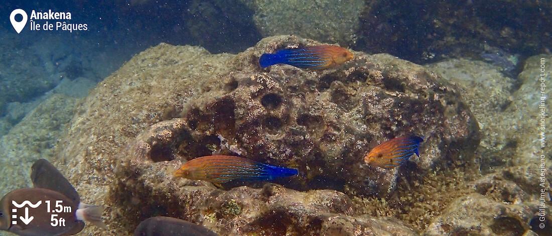Tamarins orange à rayures bleues à Anakena