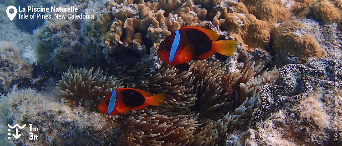 Clownfish in sea anemone at Oro Bay natural pool
