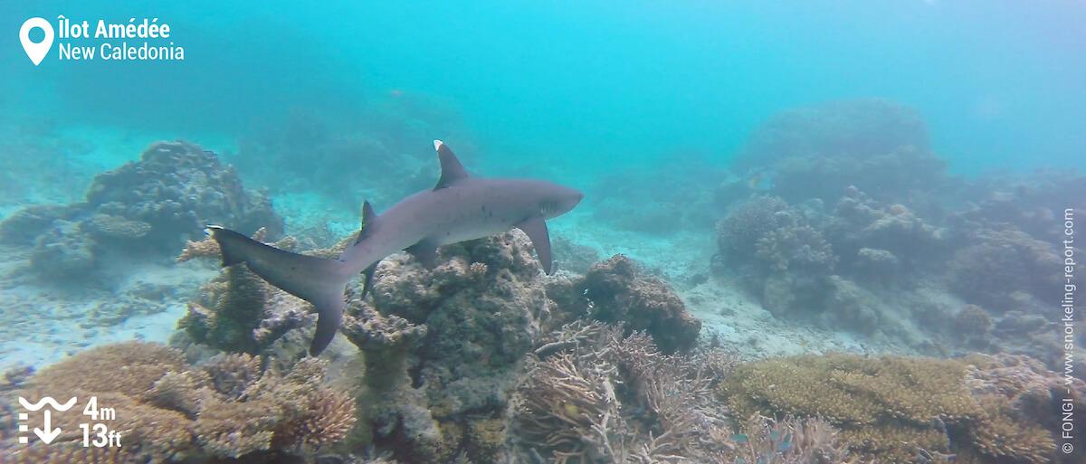 Whitetip reef shark in Amedee Island