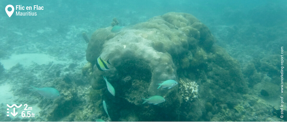 Chromis and moorish idol at Flic en Flac