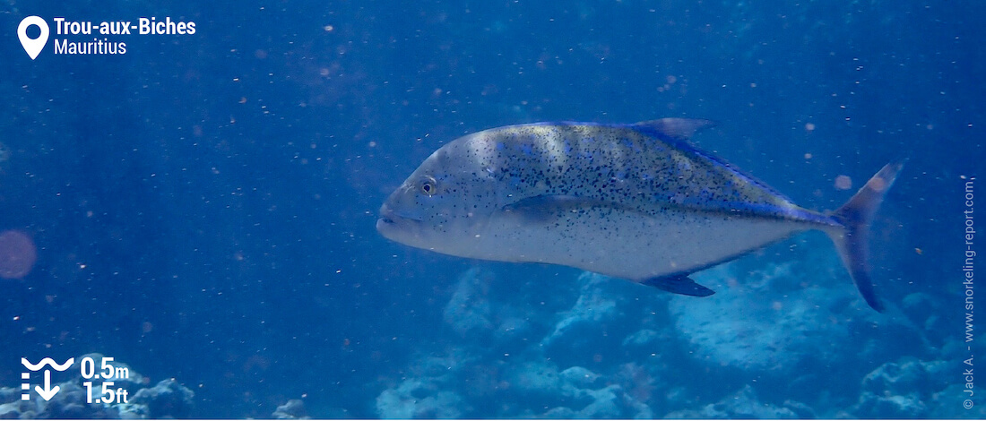 Bluefin trevally at Trou-aux-Biches