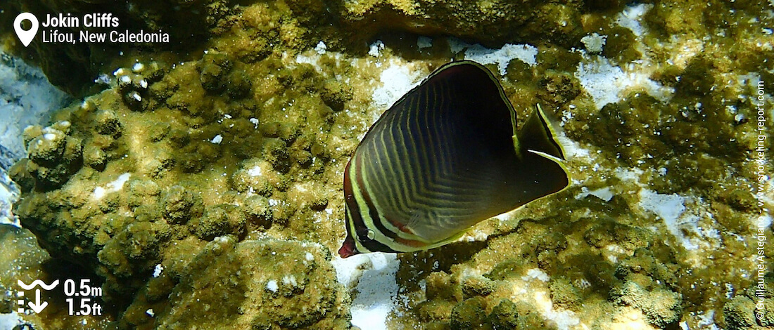 Eastern triangle butterflyfish at Jokin Cliffs