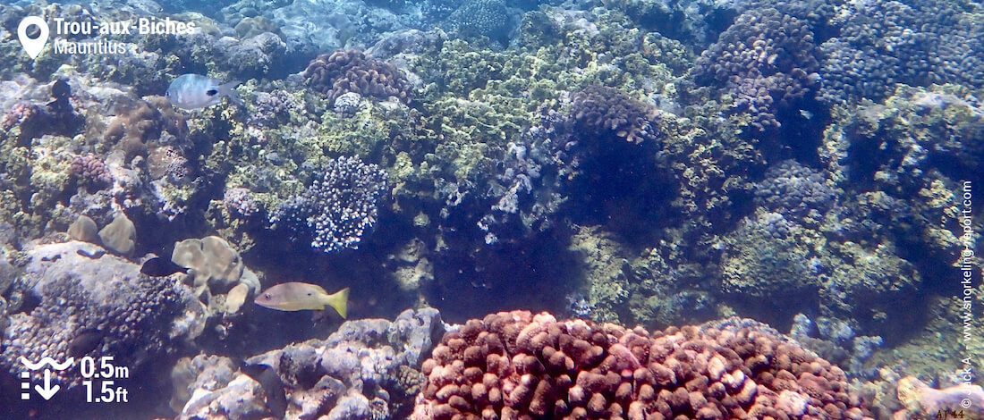 Coral reef at Trou aux Biches