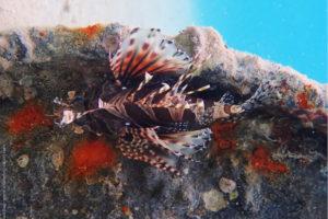 Dendrochirus brachypterus