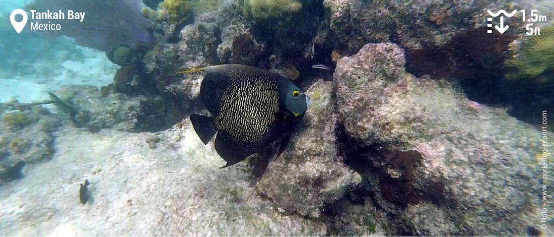 French angelfish at Tankah Bay