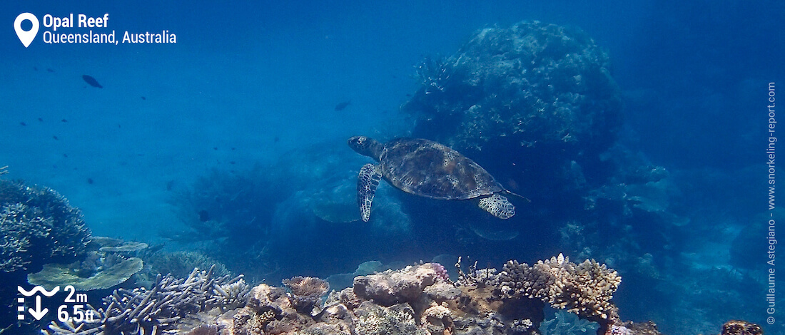 Snorkeling with green sea turtle at Opal Reef