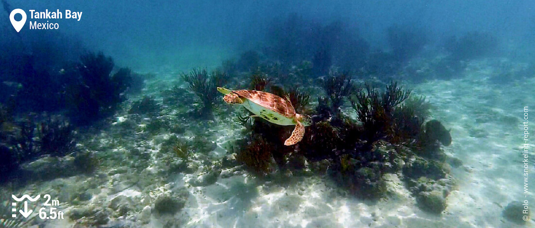 Green sea turtle at Tankah Bay