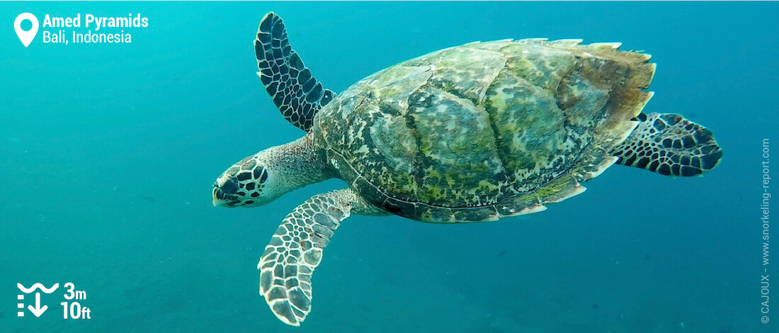 Snorkeling with hawksbill sea turtle at Amed Pyramids