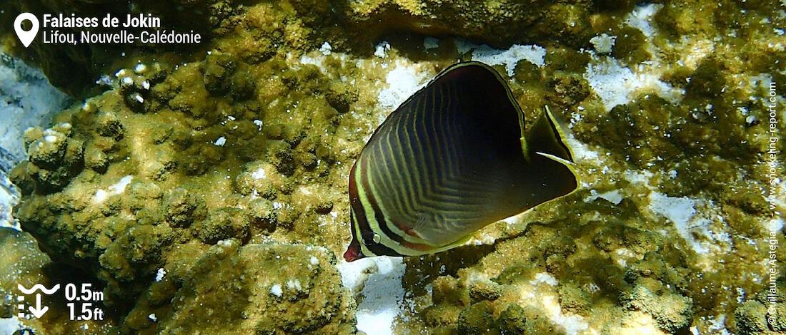 Poisson-papillon baron à Lifou