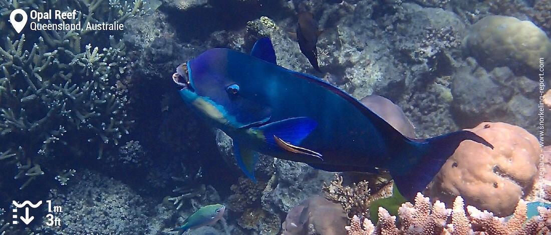 Poisson-perroquet à profil tronqué à Opal Reef