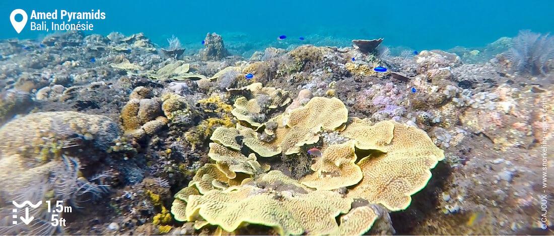Récif corallien sur le spot des Pyramides à Amed
