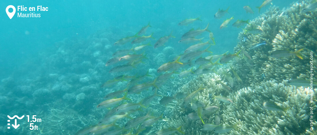 School of goatfish at Flic en Flac