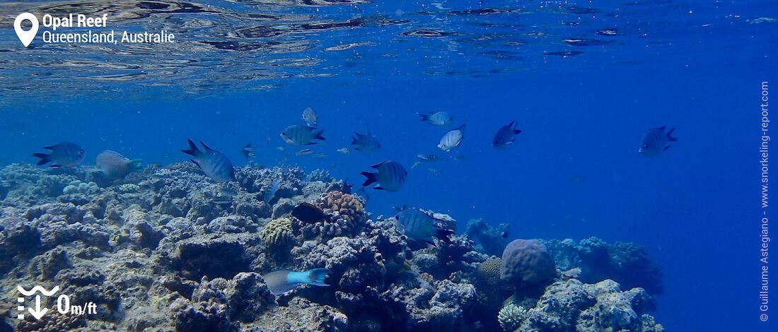 Sergents majors de Whitley sur le tombant d'Opal Reef