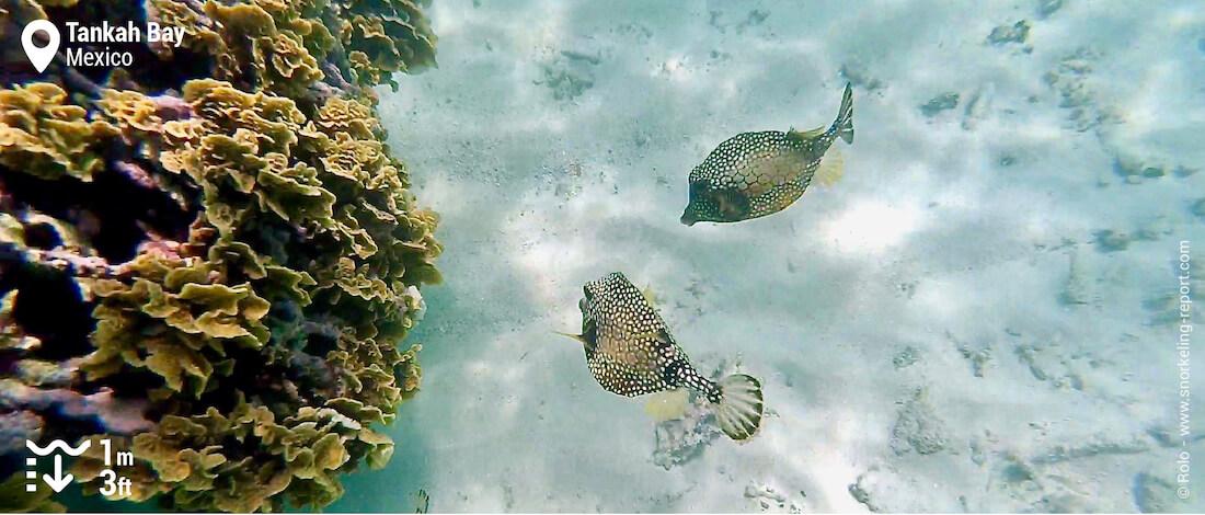 Smooth trunkfish at Tankah Bay
