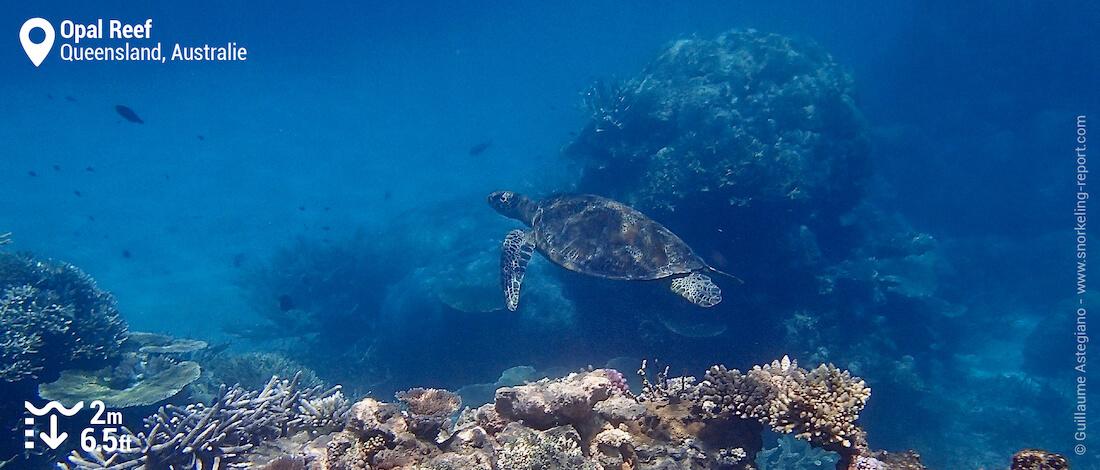 Tortue verte vue en snorkeling à Opal Reef