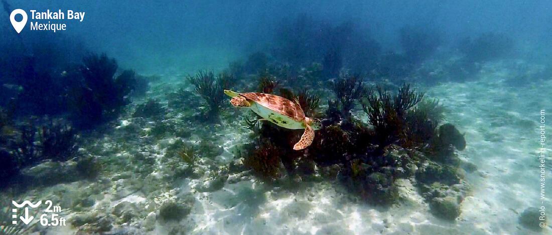 Snorkeling avec une tortue verte à Tankah Bay