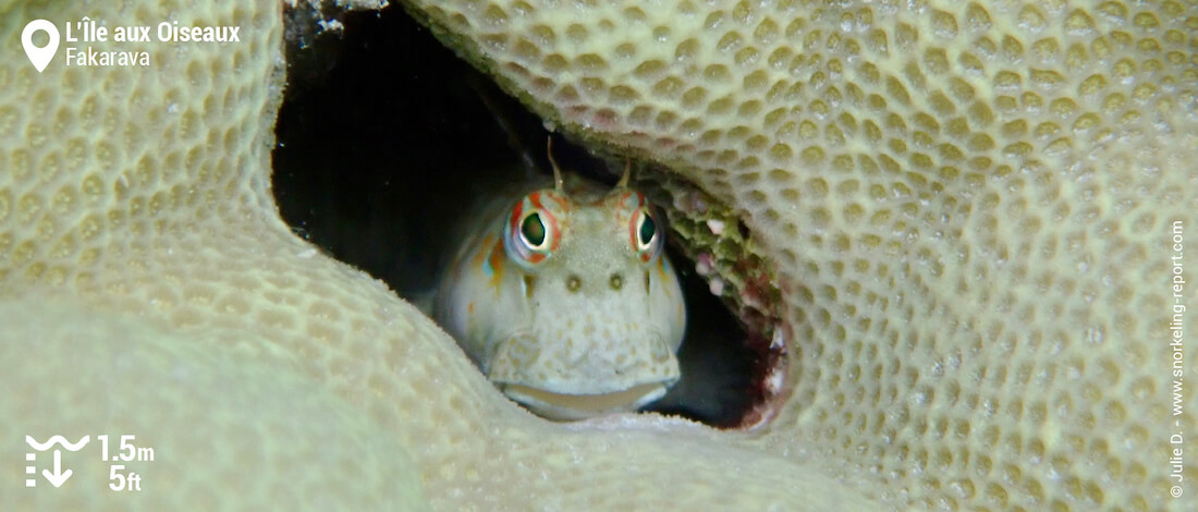 Blenny at Bird Island