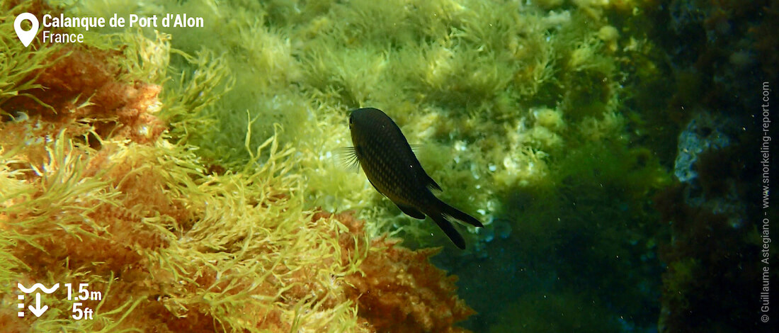Black chromis at Calanque de Port d'Alon