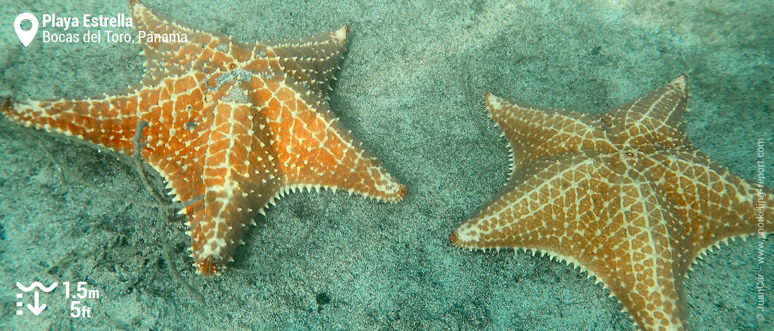 Cushion sea stars at Playa Estrella
